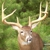Spikehorn whitetail shoulder mount`s