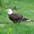 Wooden Eagle Lawn Care & Prop