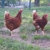 Raleigh's Poultry Farm Inc