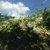 Cerezo Blooms