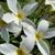 The Exotic Plumeria