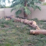 TDR Tree Services - Mesa, AZ. pine tree removal in Mesa Arizona