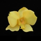 Yellow Orchid - Wilton Manors, FL