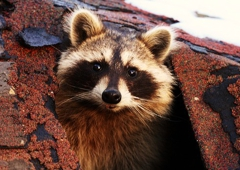 Wildlife Removal - Certified Wildlife Solutions - Wilmington, NC
