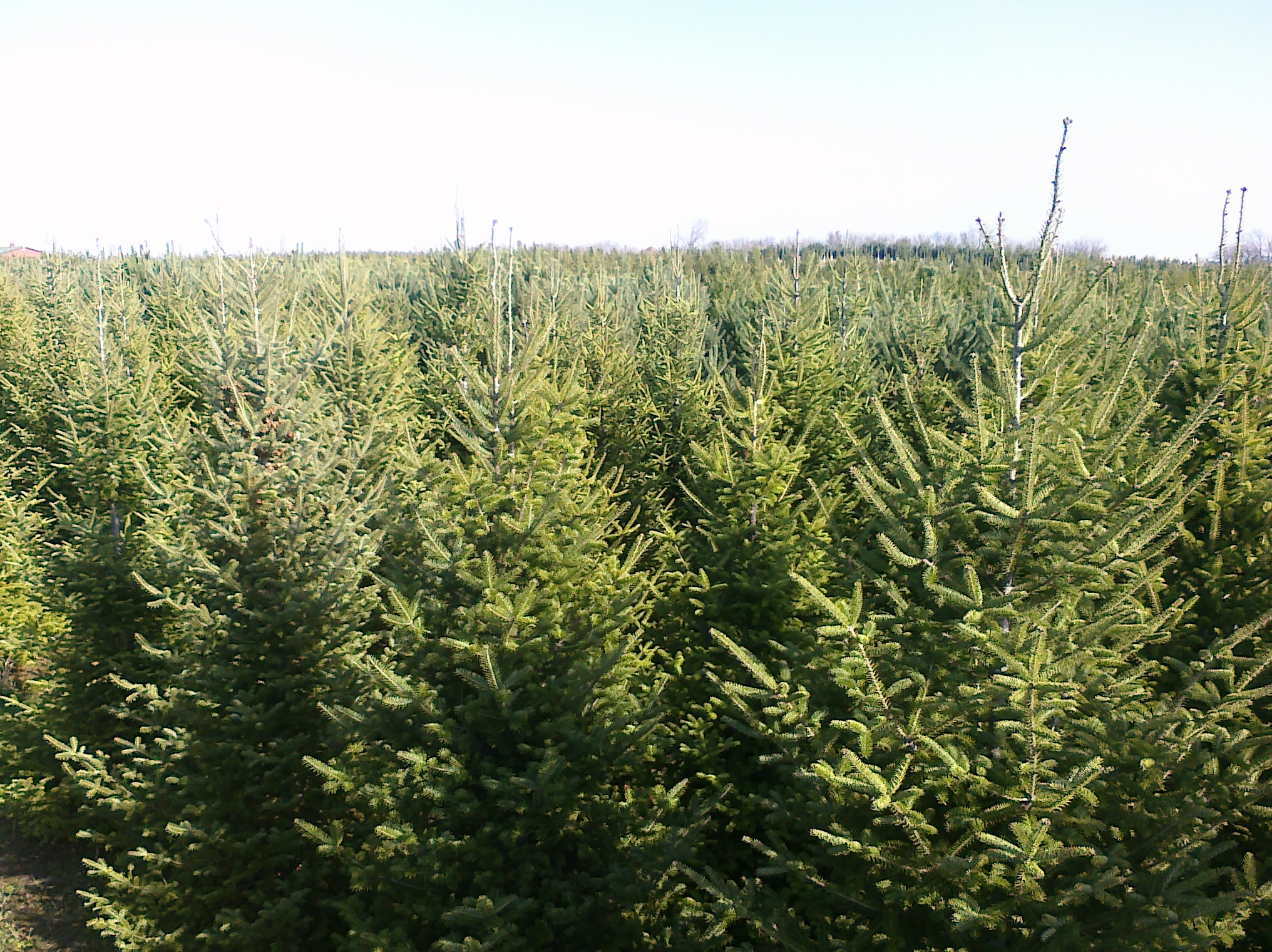 Bengtson Christmas Tree Farm 10919 W Wilmington Rd, Peotone, IL ...