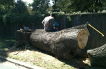 Hard worker, large tree removal.