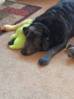 Thunder, our silverlab loves Dr Jackie