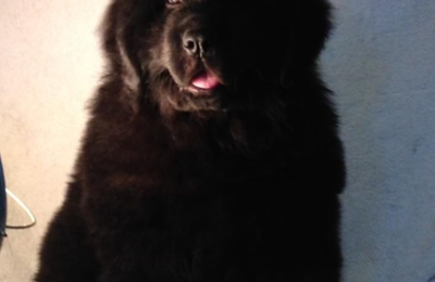 Windancer Newfoundlands - Elkland, MO. This a black Windancer Newfoundland puppy born January 3rd out of Raven by Putin. He had a bath and is going to his new home.