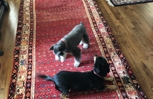 Persian Oriental Rug Hamadan is Puppy Approved!  ���� Visit Nilipour Oriental Rugs and you will find rugs to energize your space!