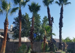 Adolfo Tree Service - Houston, TX. Houston Palm trimming (Adolfo's Tree Service)