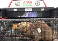 Aces Wildlife Removal - Imperial, MO. Beaver Control live removal by AWR