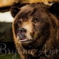Denver Zoo - Denver, CO. Brown Bear at the Denver Zoo by Brytnie Ann Photography