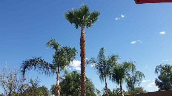TDR Tree Services - Mesa, AZ. palm tree trimming in Mesa Arizona