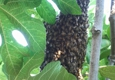 Hive Pro Bee Removal Inc. - Long Beach, CA