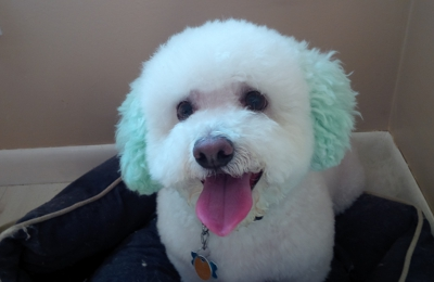 Bayshore Veterinary Hospital - Holmdel, NJ. (The color was a treat done by his groomer, Colleen. Totally safe dog chalk.)