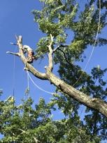 Climbing a 120' dead tree getting read to cut.
