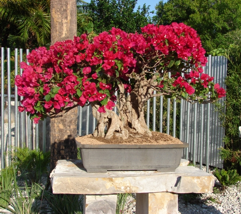 Heathcote Botanical Gardens - Fort Pierce, FL. Bougainvilla in the James J. Smith Bonsai Gallery