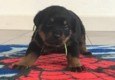 Stoneroad Company - Rottweiler Breeder of Northern California - Chico, CA. Boy - Chief ready for new home 5/10/17 Call 530-828-8287