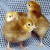 Hatchright tm pre incubation egg spray  all natural , Increases hatch rate