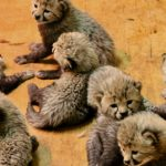 StLouis_Cheetah-cubsCarolyn-Kelly-cropped