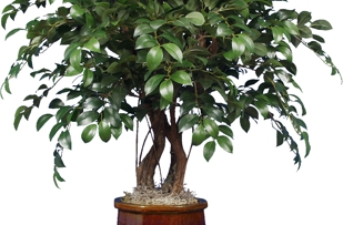 Silk Ficus tree