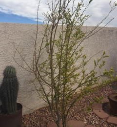 Plant World Nursery Las Vegas Nv This Is A Be Lime Tree
