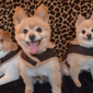 Shaggy 2 Chic Mobile Pet Grooming Spa - Wentzville, MO