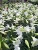 VT grown Easter Lilies
