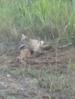 Also trap predators for people with  livestock