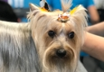 Sirius Pet Styling - Las Vegas, NV. Thank you Rain for coming in to see us at Sirius Pet Styling for all your Dog Grooming needs!