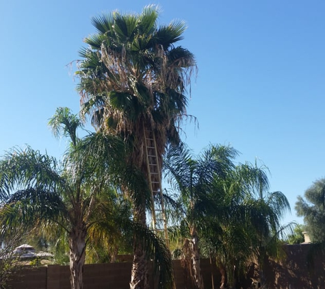 TDR Tree Services - Mesa, AZ. Neglected Palm Tree In Mesa Arizona