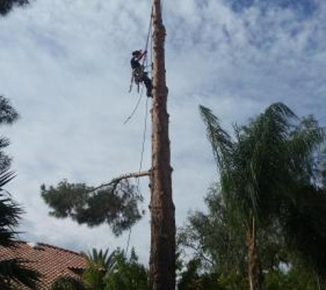 TDR Tree Services - Mesa, AZ. Large pine tree removal in Mesa AZ