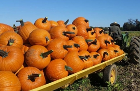 It's The Great Pumpkin Patches in Sacramento