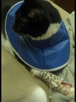 Figaro at the hospital with his IV lock and lobster bibb
