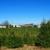 Corsi Tree Farm